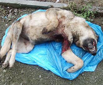 Getöteter Hund
